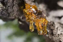Resins-in-the-Frankincense-tree