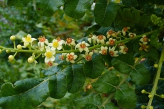 Flowers-of-Frankincense tree