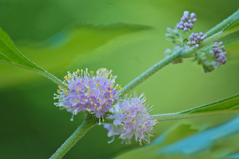 Flower-of-French-Mulberry-plant