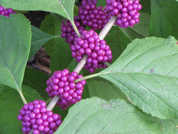 French-mulberry