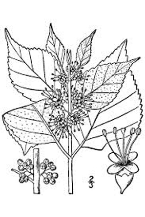Plant-Illustration-of-French-mulberry