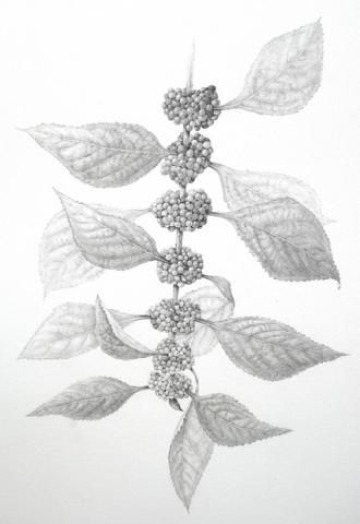 Sketch-of--French-mulberry