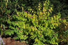 French-mulberry--plant-growing-wild