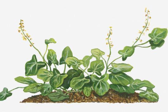Plant-Illustration-of-French-sorrel