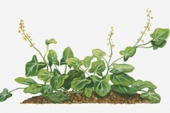 Plant-Illustration-of-French-sorrel