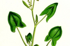 Sketch-of-French-sorrel