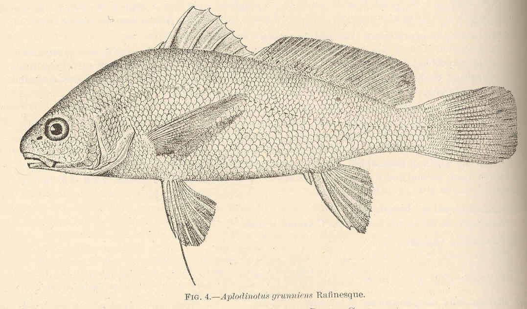 Illustration-of-Freshwater-drum