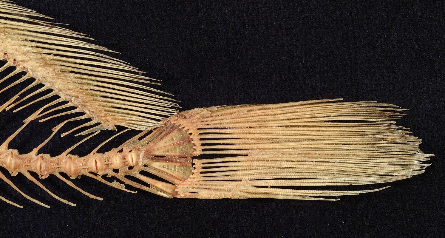 Skeleton-of-Freshwater-drum-fins
