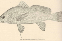 Illustration-of-Freshwater-drum