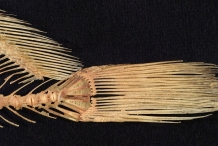 Skeleton-of-Freshwater-drum-fins