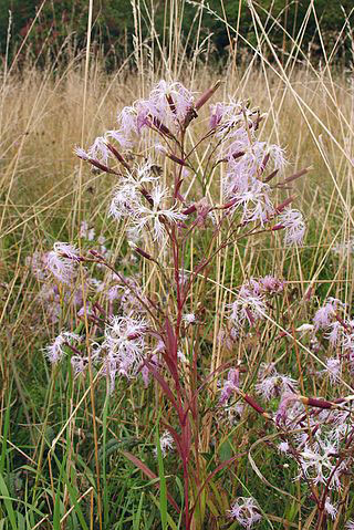Fringed-pink-plant-growing-wild