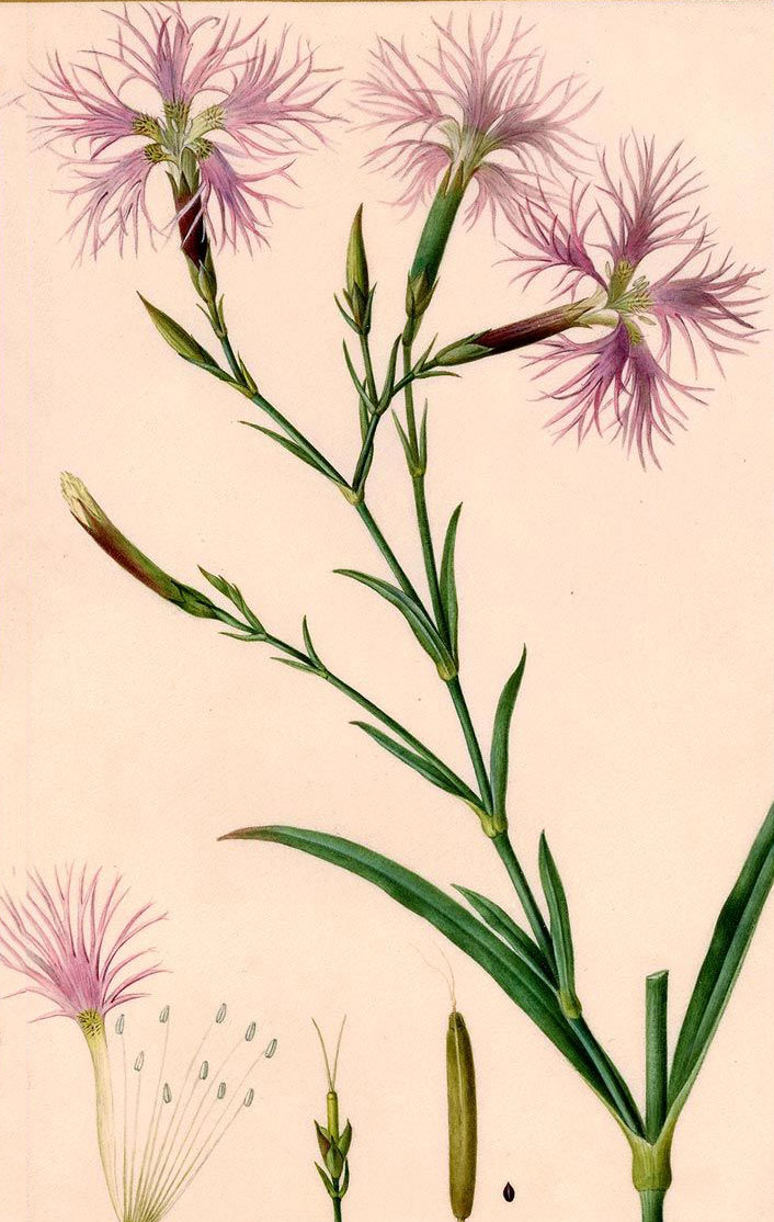 Plant-Illustration-of-Fringed-pink