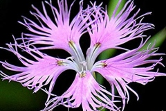 Flower-of-Fringed-pink