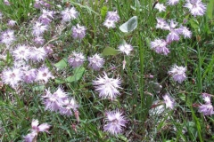 Fringed-pink-plant