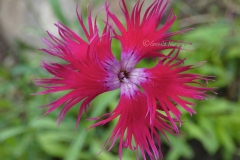 Other-Varieties-of-Fringed-pink