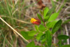 Opening-buds-of-Frostwort-flower