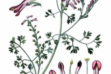 Illustration-of-Fumitory