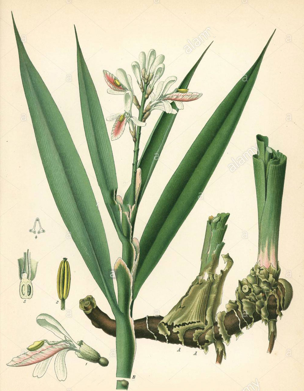 Plant-illustration-of-Galangal