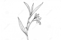 Sketch-of-Galangal