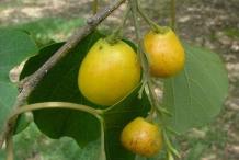Gamhar--Candahar-tree