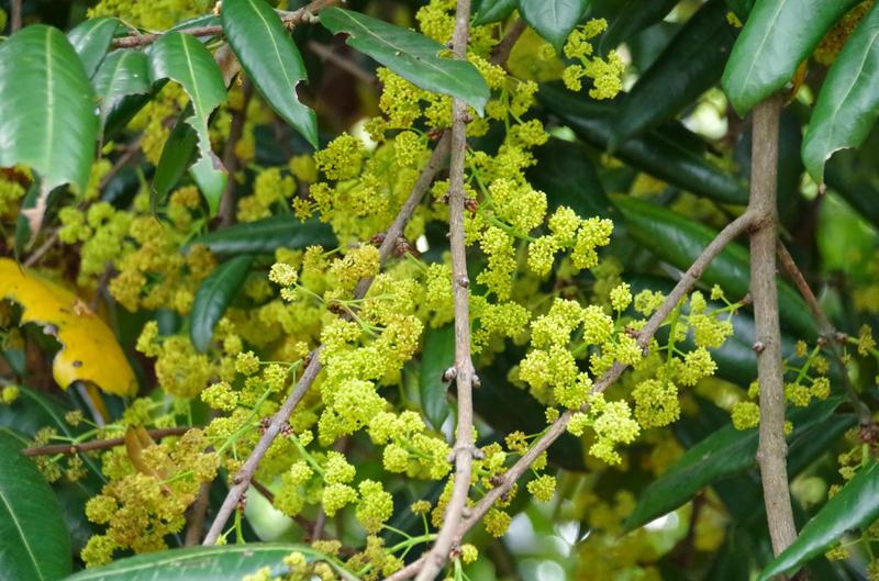 Gandaria-flowers
