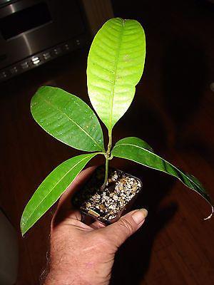 Gandaria-seedlings