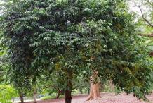 Gandaria-tree
