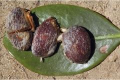 Garcinia-cambogia-seeds