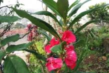 Garden-Balsam-flower