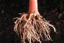 Garden-Balsam-root
