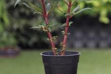 Garden-Balsam-plant
