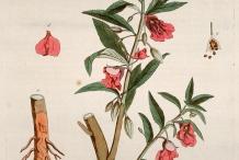 Illustration-of-Garden-Balsam