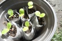 Seedlings-of-Garden-Balsam