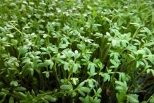 Garden-cress-leaves