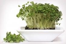 Garden-cress-plant
