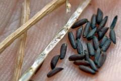 Garlic-Mustard-Seeds