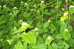 Garlic-Mustard-plant-growing-wild