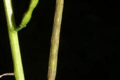Mature-fruit-of-Garlic-Mustard