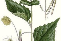 Plant-illustration-of-Garlic-Mustard