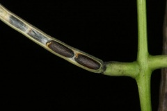 Seed-of-Garlic-Mustard-on-the-plant