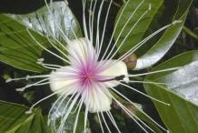 Garlic-pear-flower