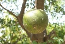 Garlic-pear-fruit