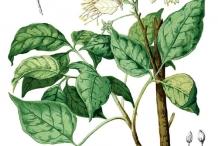 Garlic-pear-plant-illustration