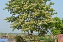 Garlic-pear-tree