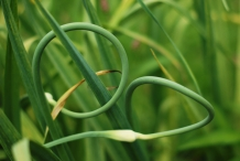 Garlic-scapes-6