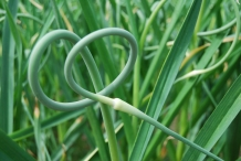 Garlic-scapes-1