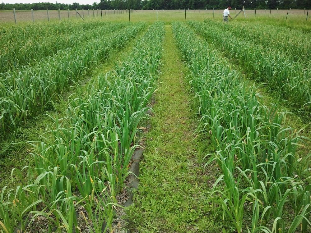 Garlic-farm