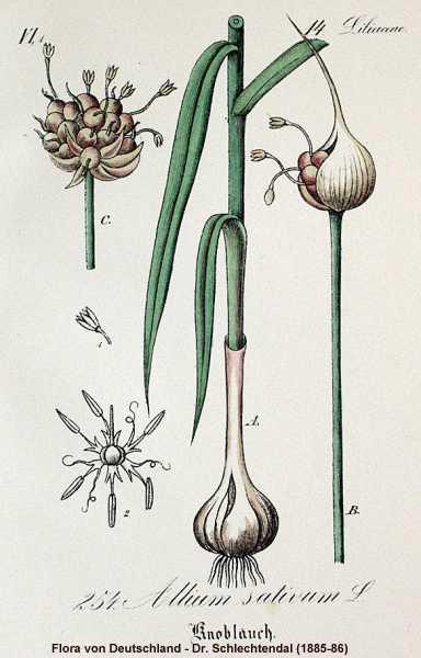 Plant-illustration-of-Garlic
