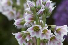 Close-up-flower-of-Garlic