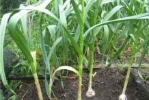 Garlic-plant